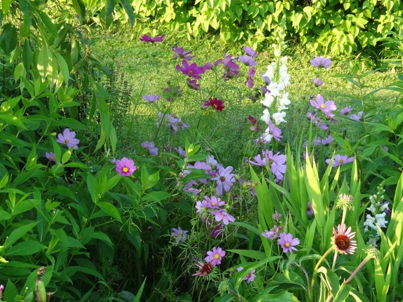 Cosmos, snapdragon, echinacea purpurea