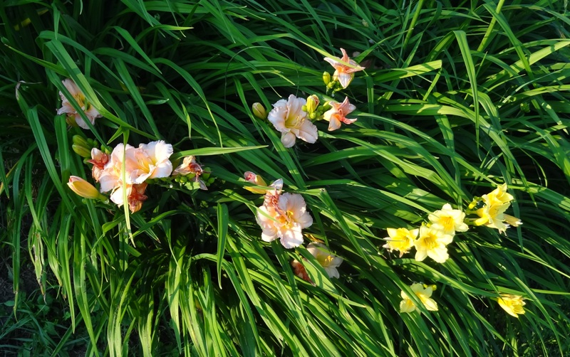 Daylilies on the Bank