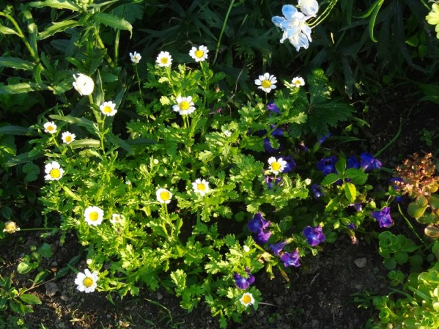 Torenia and daisies