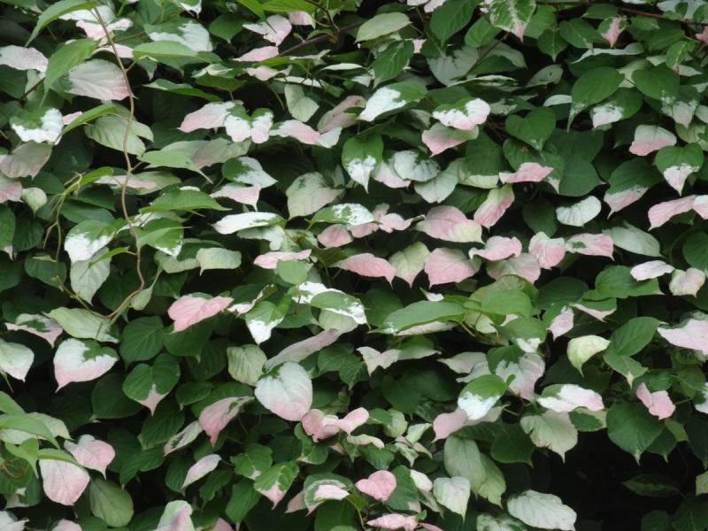 Hardy Kiwi foliage