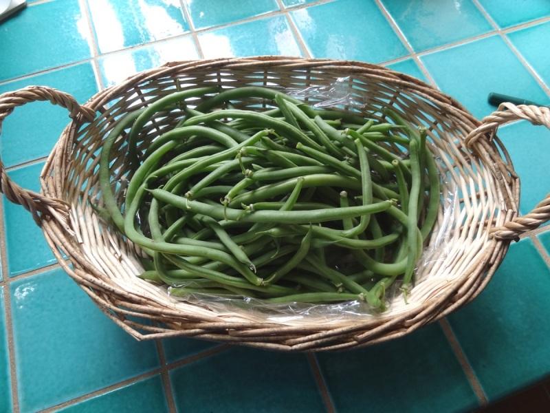 'Jade' bush beans