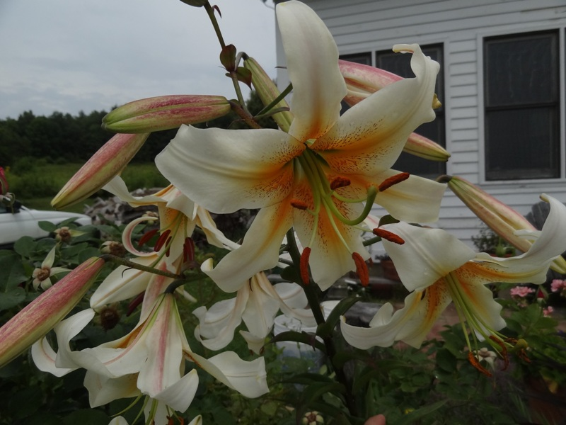White Henryi lily