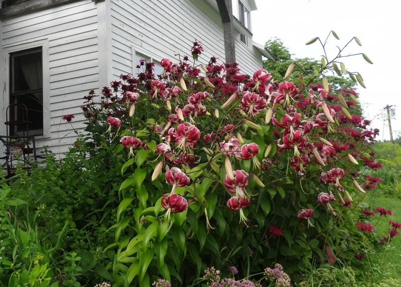 Black Beauty lilies and crimson bee balm