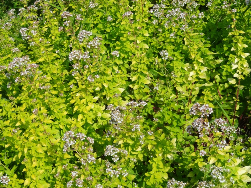 Golden marjoram