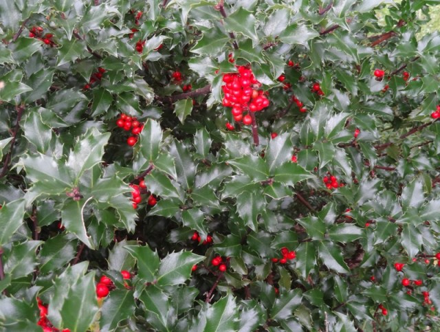 Blue Princess Holly berries