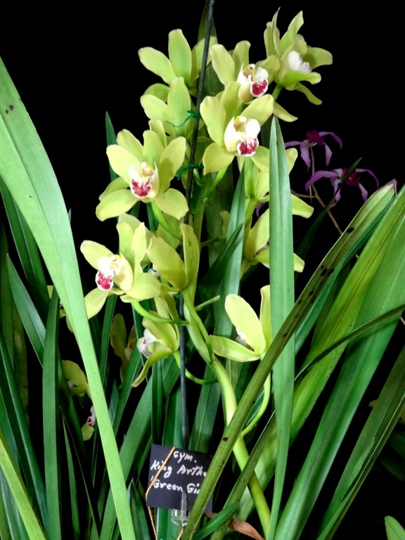 Cymbidium King Arthur 'Green Giant'
