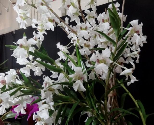 Dendrobium sanderae orchid