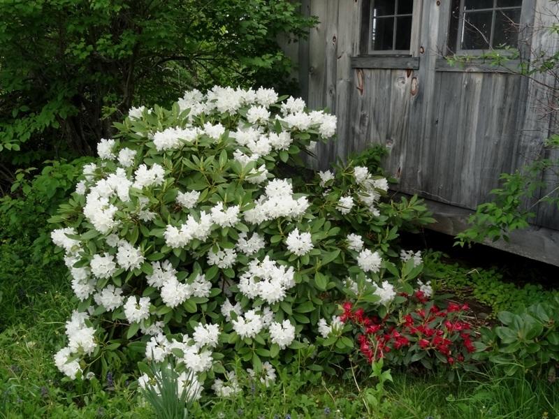 Rhododendron 'Boule de neige'
