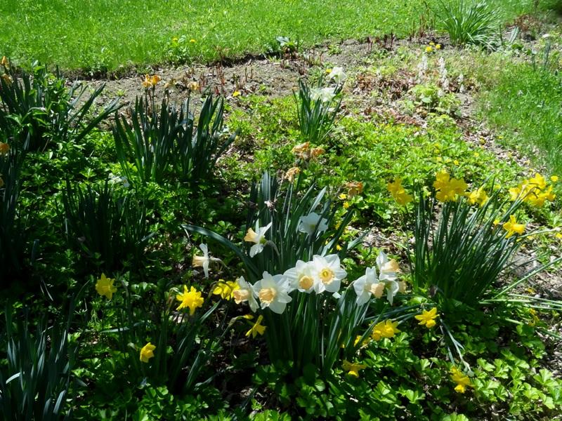 Daffodils, Waldsteinia and tiarlla