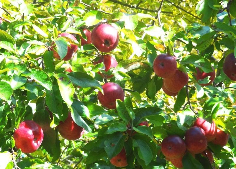 Liberty apples