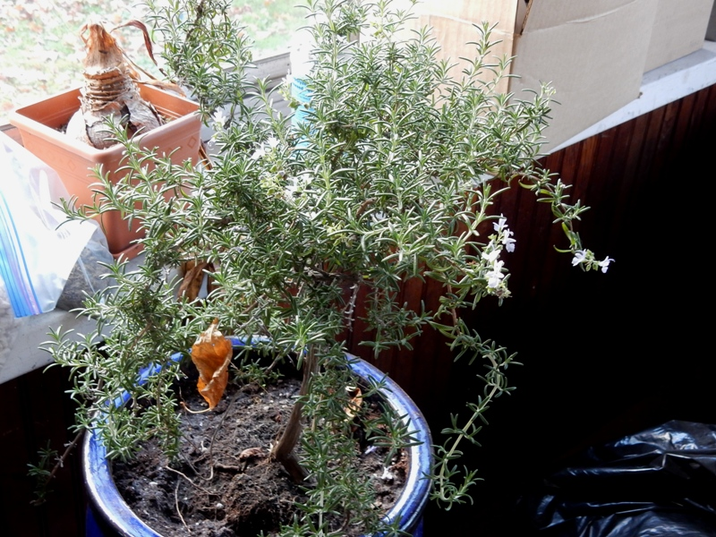 Prostrate rosemary in bloom