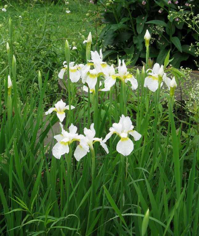 White Siberian Iris