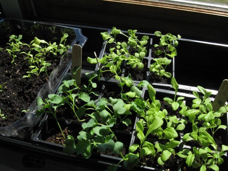 Seedlings in front of a Heath window