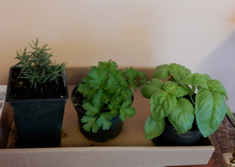 Herb starts, rosemary, parsley and basil