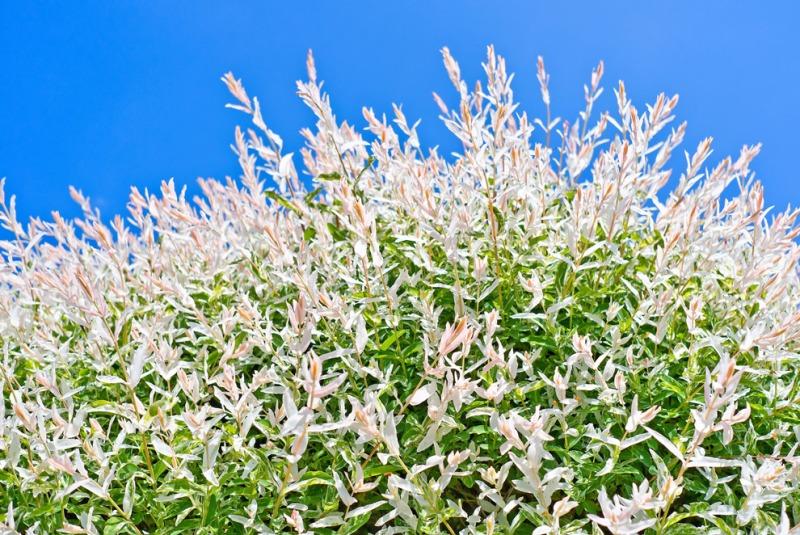 dappled willow