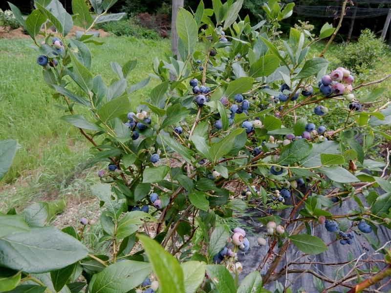 High Bush Blueberries at Wilder Hill Gardens