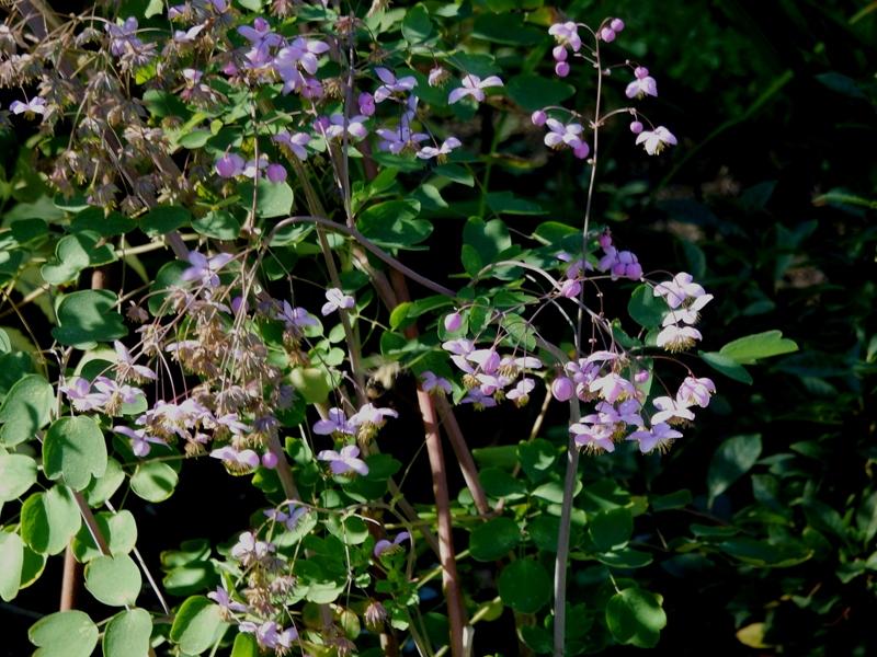 Thalictrum - meadowsweet