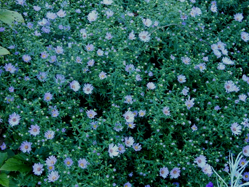Wood's Blue aster