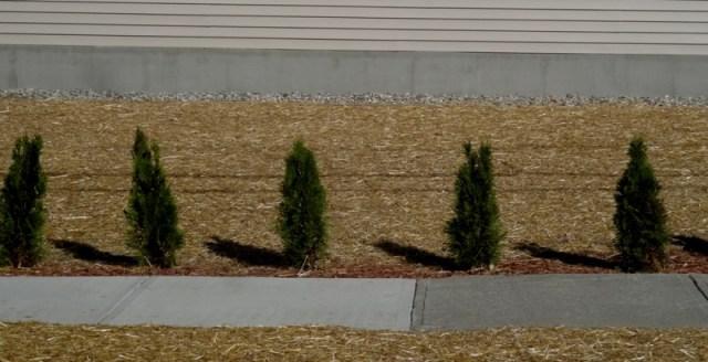 newly planted arborvitae
