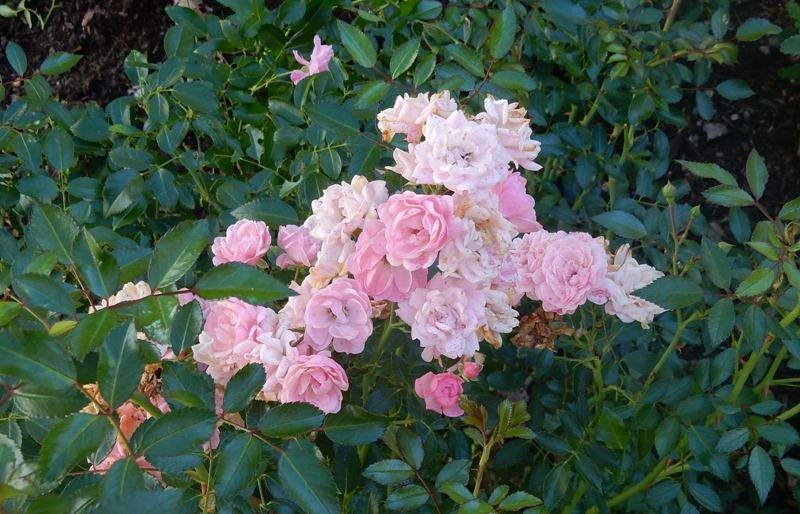 'The Fairy' rose