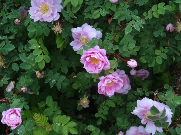 Purinton Pink rose at the Annual Rose Viewing 2014