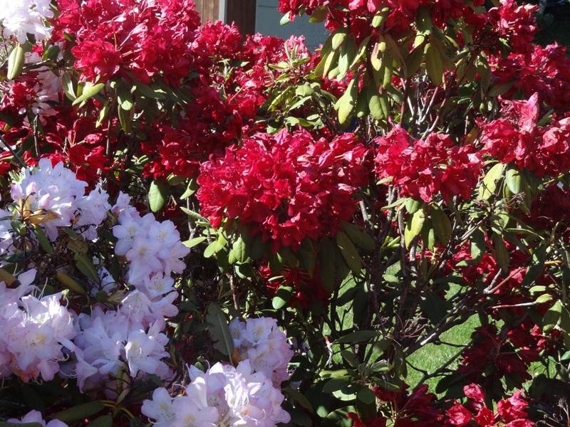 Rhododendron Francesca