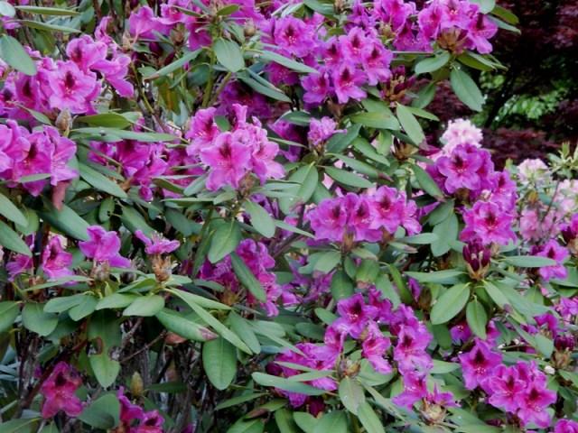 Wojner's Purple rhododendron