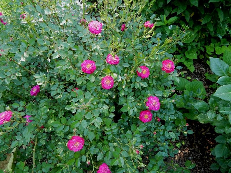 Purple Rain - Kordes rose
