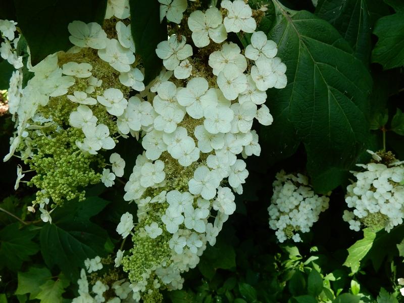 Oakleaf hydrangea blossom close up