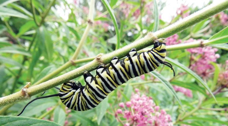 - MONARCH caterpillar 2
