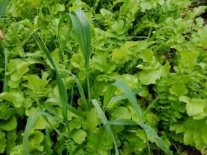 Radish, vetch winter wheat