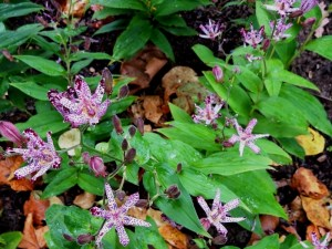 Toad lily tricyrtis