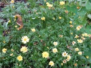 Butterfly Argyanthemum frutescens