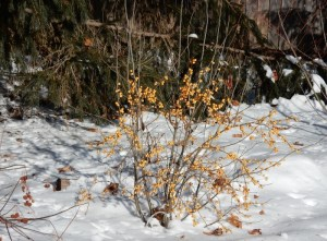 Gold winterberries