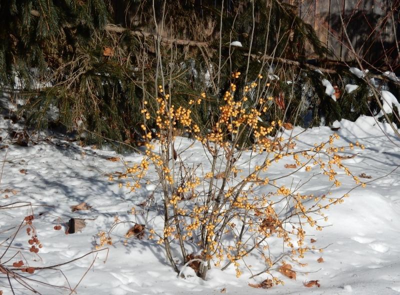 Gold winterberries