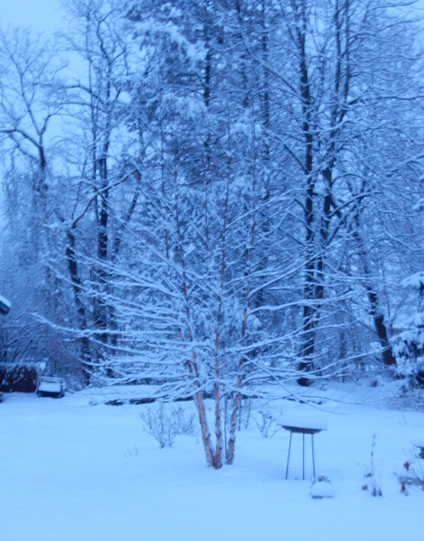 river birch and snow
