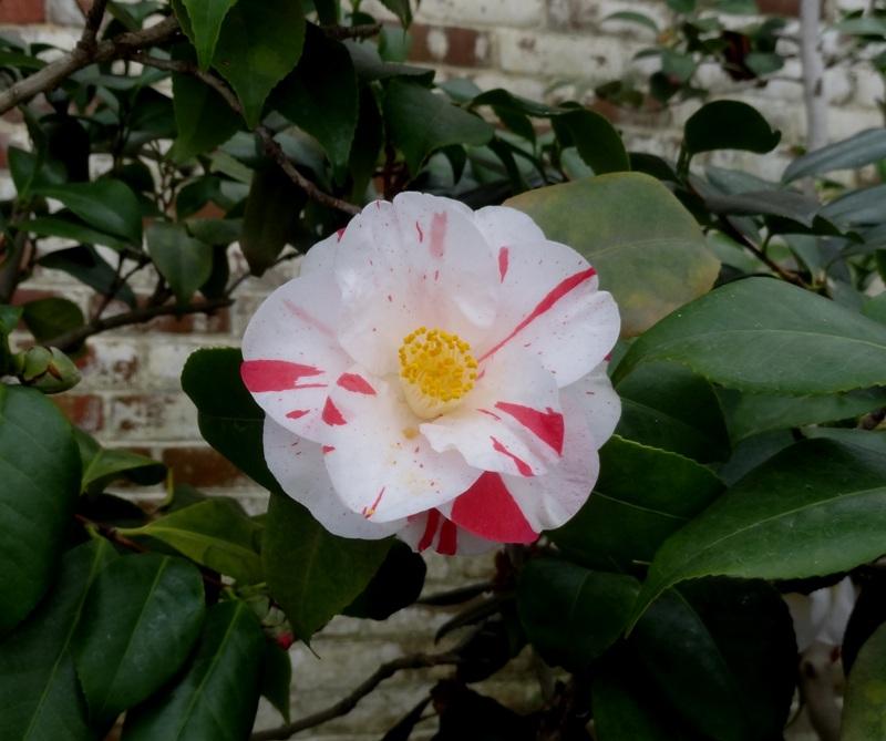 Striped camellia