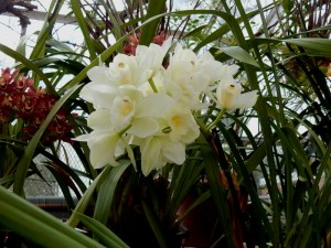 Cattleya orchids at Lyman Greenhouse
