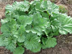 Rhubarb only eat the stalks