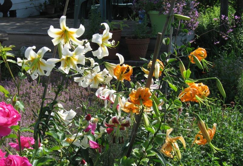 Henryi lilies in the Heath garden