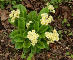 creamy primroses
