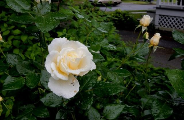 Polar Express rose
