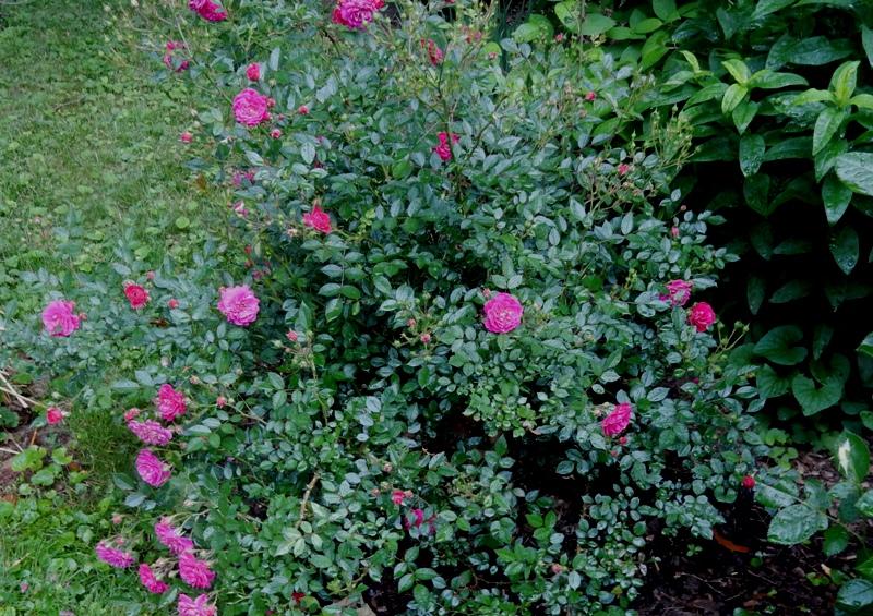 Kordes Purple rain rose
