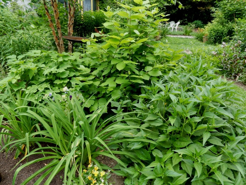 Japanese anemone, Calycanthus and rudbeckia