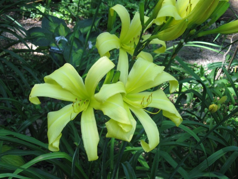 Lemon Madeleine daylily