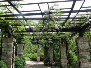 wisteria in Olbrich Botanical Garden