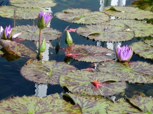 waterlilies in a small pond