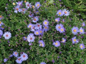 Autumn glory Blue woods aster