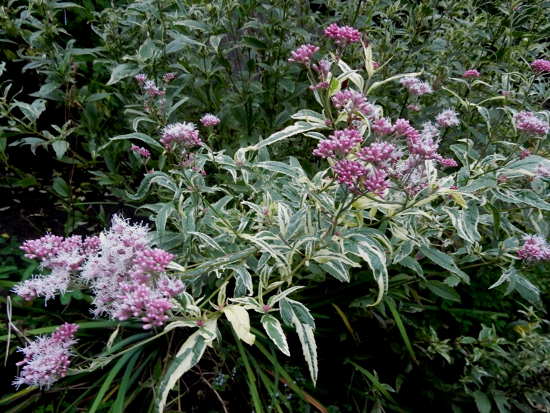 variegated joe pye weed
