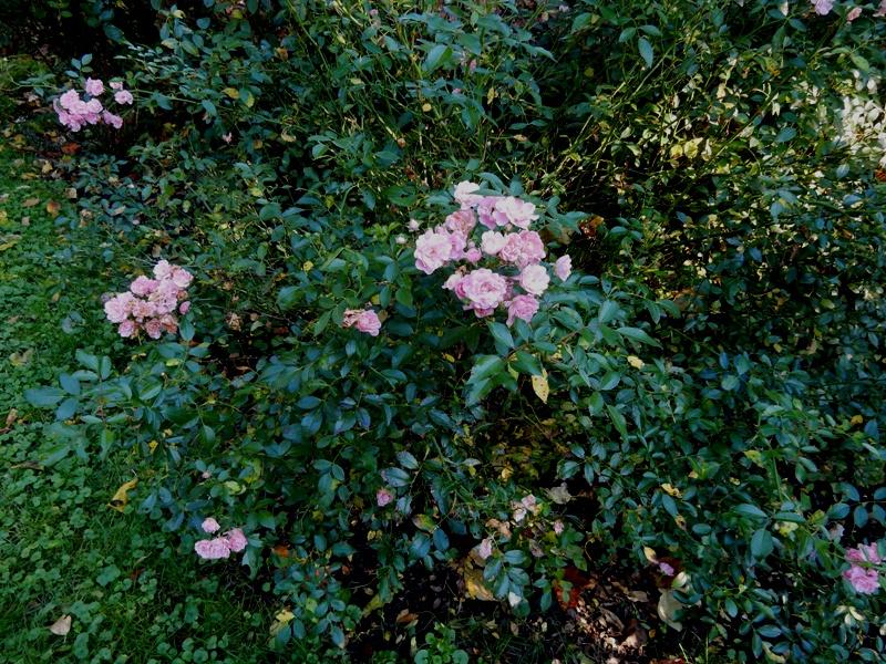 """The Fairy"" rose"